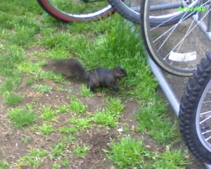 Black squirrel checks out the bike rack at the Georgetown library.